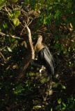 A Anhinga Perched on a Tree Branch