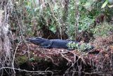 A very large aligator laying on a big log