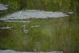 Small gator stalking a bird in the water
