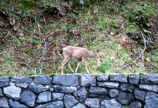 White tailed deer walking on a rock wall