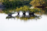 Four small trees in water
