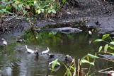 Aligator with birds in a pool of water