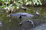 Aligator in small pool of water