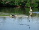 A man walking in shallow water with a gator watching and a fish jumping while a bird is watching in the background
