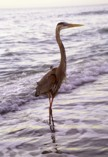 Great Blue Heron standing in the Gulf of Mexico