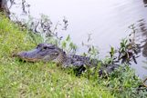 Aligator laying on a grassy bank