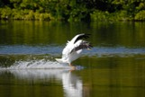 White male american pelican landing in the water