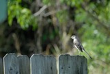 Northern Mocking bird siting on a fence