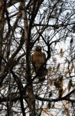 Red Tailed hawk in a tree
