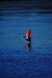 Roseate Spoonbill getting rady to fly