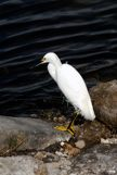 Snowy Egret on edge of water